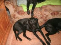 Hello, I have 2 Black lab dogs that i need to go to a