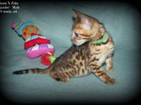 I have a litter of Rosetted Bengal kittens Available. A