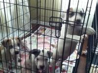 2 BLUE MALE PITBULL PUPS LEFT!! ADBA REG PAPERS IN