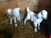 We have two Boer bucks for sale. They would make great