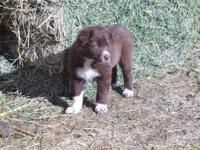 2 male border collie pups, not registered, from Working