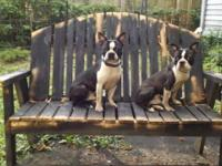 We have two Boston Terrier males 1 year 3 months old