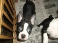 2 Adorable 9 week old Boston Terrier Puppies1 male 1