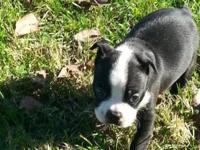 Adorable puppies!!!! I have 2 beautiful male Boston