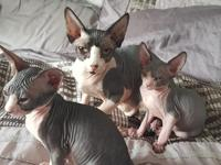 Hello, We have 2 stunning Sphynx boys ready for their