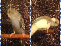 I have 2 pairs of breeding parakeets. As they are