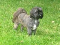 I am cultivating 2 purebred Shih Tzu's. One is male one