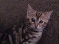 TICA registered Bengal kittens, 2 showy males