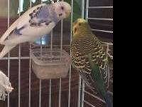 We have two beautiful parakeets, one male(Chewy) and