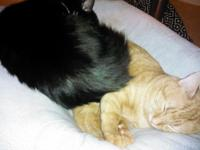 2 male felines require new home(s). Is an orange 1 year