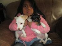 Hi I have up for adoption 2 chihuahua mix puppies. They