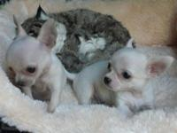 We have 2 chihuahua puppies ready for new homes . 12