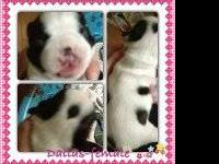 CKC Registered Boston Terrier Puppies- Born September