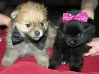 I have 2 Pomeranian new puppies. One guy
