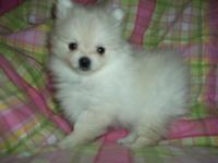 I have 2 ckc female T-CUP Pomeranian puppies 9 weeks