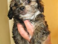 2 Beautiful CKC Registered Dachu-tzu puppies for sale