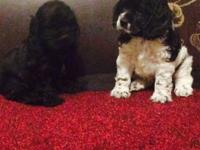 I have 2 cocker spaniel puppies purebreed and ready for