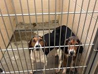 2 Coonhounds's story 7/9: still in shelter, need rescue