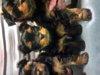 2 adorable AKC little girls still need new homes.