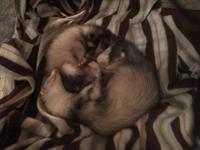 2 Super cute ferret sisters, 7 months old and litter