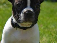 male and female Boston Terrier avl both are very