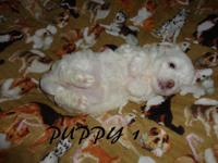 2 Cute Female Maltese puppies for sale. They are