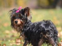 I have two beautiful female CKC Yorkies. Dad ranges