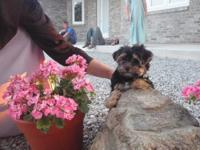 sweet Morkie female puppies raised in our home with