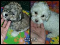 Teddybears available! 8 weeks all set and aged to go! 2