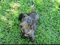 I have 2 CKC signed up doxies available. Silver dapple