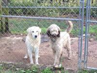 I have 2 dogs for sale. Female golden doodle, male