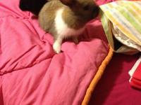 2 baby brother dwarf bunnies that are playful and