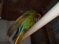 These are 2 female egg laying Military Macaws. They are