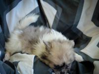 We have a litter of 2 fantastic pomeranian puppies.