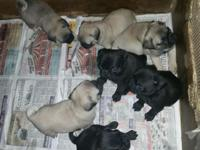 I have 2 Fawn males and 1 black male pug left! Born