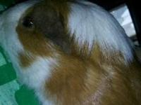 I have two female guinea pigs 1 all white 1 white with