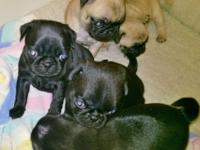 AKC CHINESE PUG PUPPIES 2 FEMALES LEFT (HAHIRA, GA)