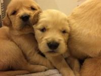 2 Female Goldens born 4/25/15 Located in Greencastle
