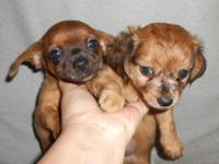 2 Female Chi-Weenie pups. Born 4/23/15, will be ready
