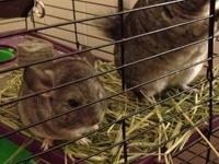 I HAVE 2 STANDARD GREY CHINCHILLA'S I NEED TO