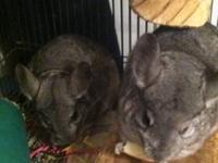 I have two female chinchillas that are approximately 2