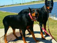 2Female doberman puppies left unclaimed will come fith