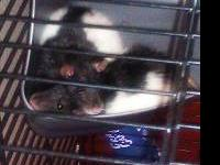 2 female fancy rats. 2 years old. Friendly black and