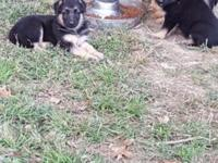 We had a litter of 9 gorgeous German Shepherd babies