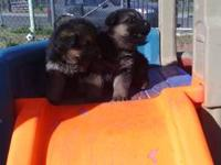 Hello Im selling my two female puppies. Their really