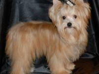yorkies females chocolate party Price:$1,800