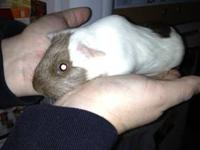 I have two female guinea pigs that I would like to