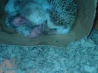I have 4 baby hedgehog babies born 9/11/12 . They will