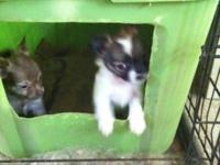 Here are two very cute female longhaired Chihuahuas