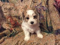 I have 2 precious female Morkie babies looking for